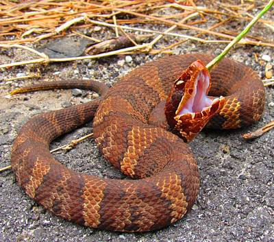 Photograph - Carolina Cottonmouth by Joshua Bales