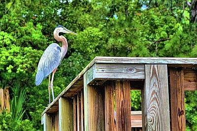 Photograph - Carolina Great Blue Heron by James Potts
