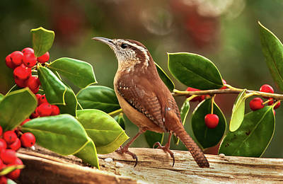 Photograph - Carolina Hollyday Wren by Jim Moore