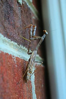 Photograph - Carolina Mantis by Kathryn Meyer
