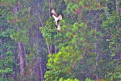 Photograph - Carolina Osprey In Flight by James Potts
