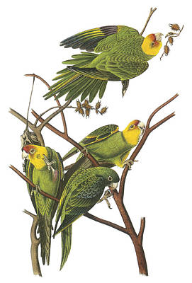 Parakeet Painting - Carolina Parakeet by John James Audubon