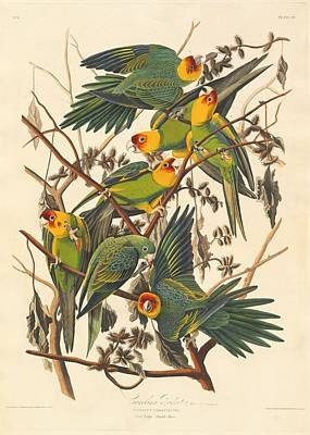 Audubon Drawing - Carolina Parrot by Dreyer Wildlife Print Collections