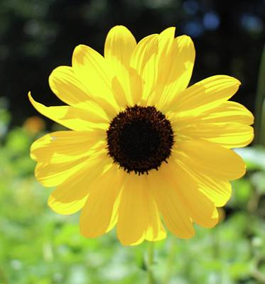 Photograph - Carolina Sunflower by Cynthia Guinn
