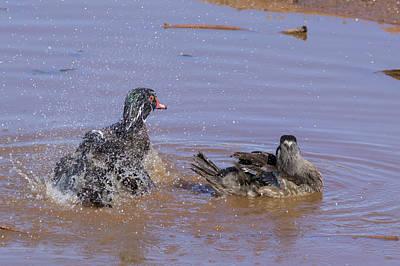 Wood Duck Profile Photograph - Carolina Wood Ducks - 2 by Chris Smith
