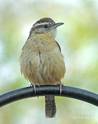 Photograph - Carolina Wren 2 by Lizi Beard-Ward