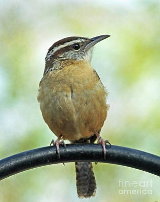 Photograph - Carolina Wren 3 by Lizi Beard-Ward