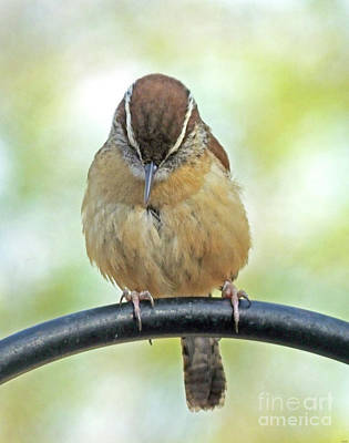 Photograph - Carolina Wren 5 by Lizi Beard-Ward