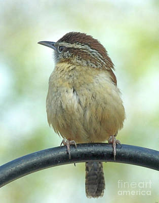 Photograph - Carolina Wren 6 by Lizi Beard-Ward