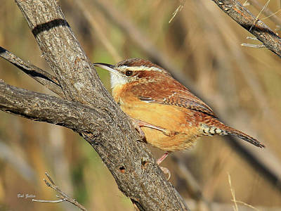 Photograph - Carolina Wren by Bob Zeller