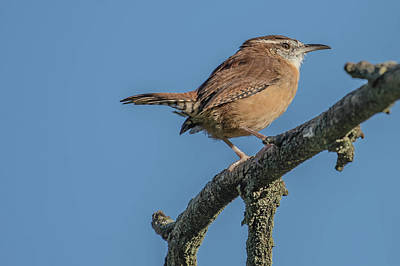 Photograph - Carolina Wren by Bruce Pritchett
