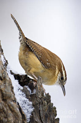 Photograph - Carolina Wren - D009829 by Daniel Dempster