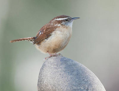 Photograph - Carolina Wren by Diane Giurco