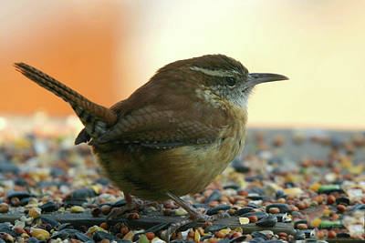 Photograph - Carolina Wren by Ericamaxine Price