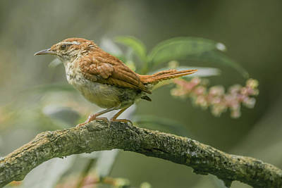 Photograph - Carolina Wren Img 2 by Bruce Pritchett