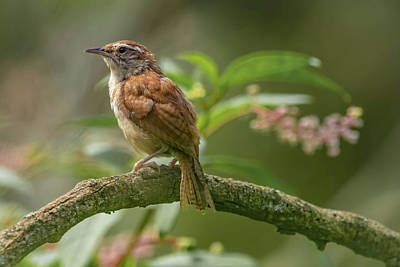 Photograph - Carolina Wren Img 3 by Bruce Pritchett