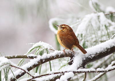 Black And White Flower Photography - Carolina Wren In Snowy Pine by Daniel Reed