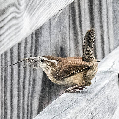 Photograph - Carolina Wren Profile With Twig In Beak Tail Up by William Bitman