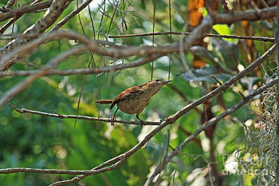Photograph - Carolina Wren by Terri Mills