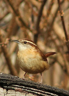 Photograph - Carolina Wren by TnBackroadsPhotos