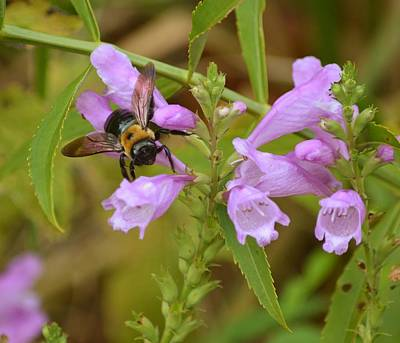 Photograph - Carpenter Bee And Obediant Plant Flowers by rd Erickson