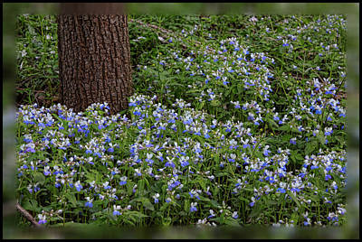 Photograph - Carpet Of Blue-eyed Mary by Shari Jardina