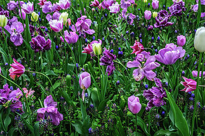Photograph - Carpet Of Purple Tulips In Keukenhof by Jenny Rainbow