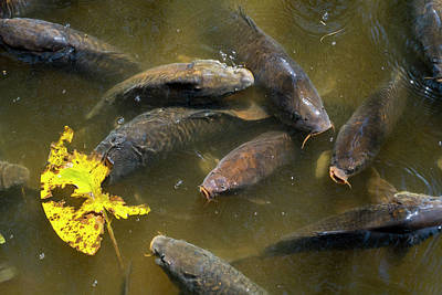 Photograph - Carps by Arterra Picture Library