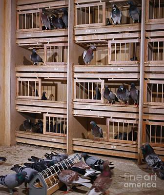 Carrier Pigeons Art Print