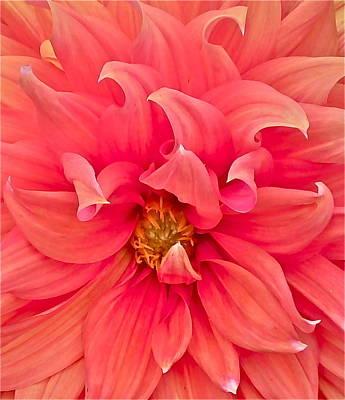 Of Dahlia Photograph - Carrie's Sister by Gwyn Newcombe