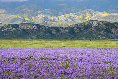 Photograph - Carrizo Plain - Lake Phacelia by Alexander Kunz