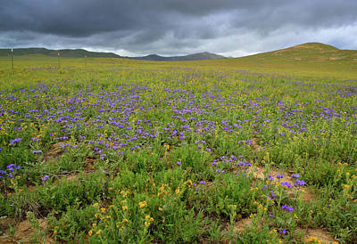 Fiddleneck Photograph - Carrizo Plain Wildflowers by Kathy Yates