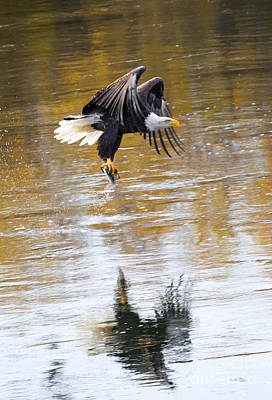 Eagle Photograph - Carrying Dinner by Mike Dawson