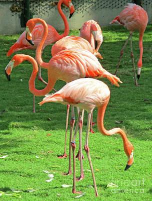 Photograph - Cartagena Flamingos 1 by Randall Weidner