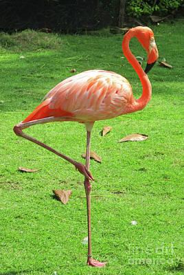 Photograph - Cartagena Flamingos 4 by Randall Weidner
