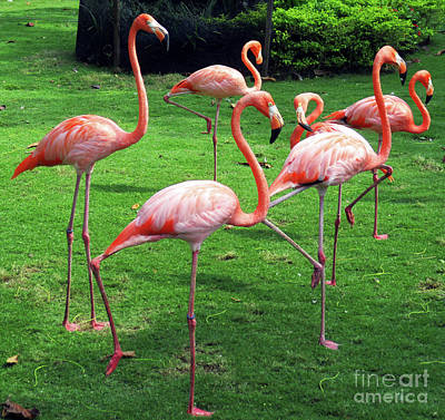 Photograph - Cartagena Flamingos 5 by Randall Weidner