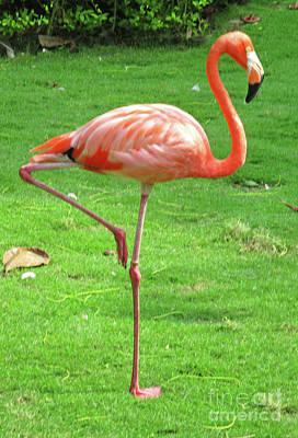 Photograph - Cartagena Flamingos 6 by Randall Weidner