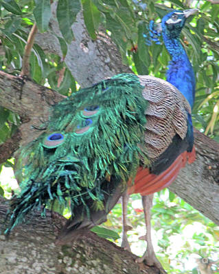 Photograph - Cartagena Peacock 1 by Randall Weidner