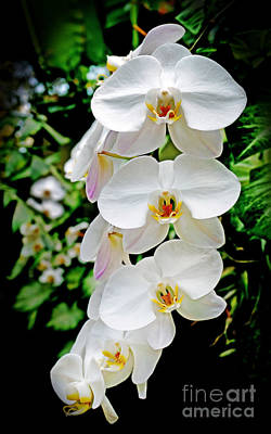 Photograph - Cascade Of White Orchids by Sue Melvin
