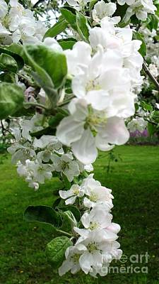 Photograph - Cascading Apple Blossoms by Hazel Holland