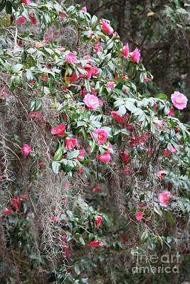 Photograph - Cascading Camellias by Carol Groenen