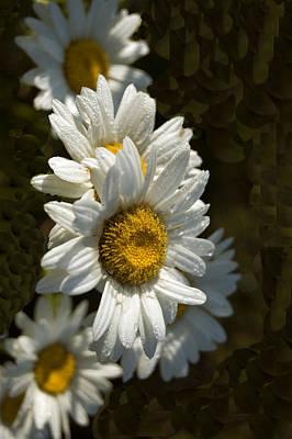 Photograph - Cascading Daisy by Elsa Marie Santoro