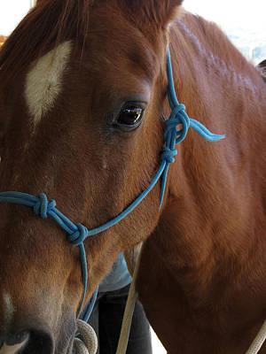 Paso Fino Stallion Photograph - Casey by Laurel Powell