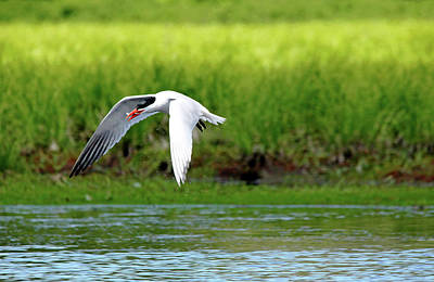 Photograph - Caspian Tern by Debbie Oppermann