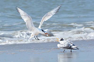 Photograph - Caspian Tern Feeding Young by Alan Lenk
