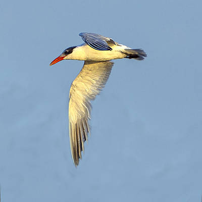 Photograph - Caspian Tern Flying With One Wing Lowered by William Bitman