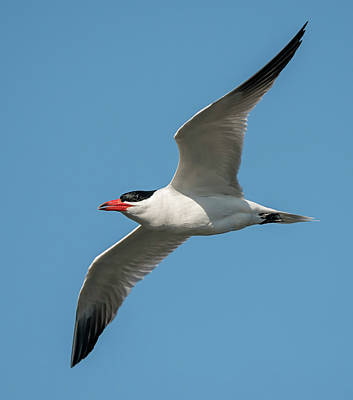 Photograph - Caspian Tern by Loree Johnson