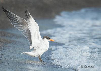 Photograph - Caspian Tern On The Beach by CR Courson