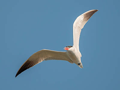 Photograph - Caspian Tern Right Turn by Loree Johnson