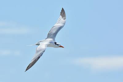 Photograph - Caspian Tern Soars by Alan Lenk